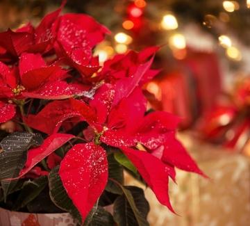 Как да оцелее Коледната звезда, която отново получихте като подарък?
