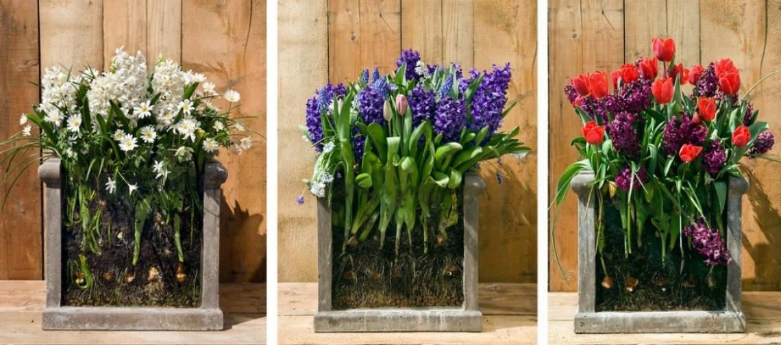 Луковици в саксии за по-цветна пролет!