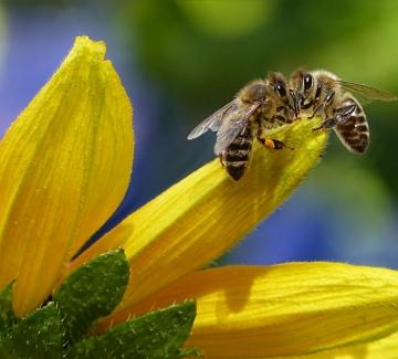 Отбелязваме световния ден на пчелата – 5 важни факта за нея