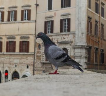Инвазия от гълъби заплашва гоблените на Рафаелo