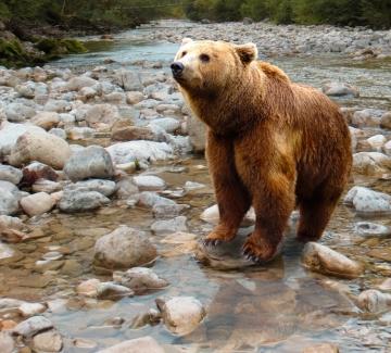 Петиция в защита на мечката, нападнала жена край Белица