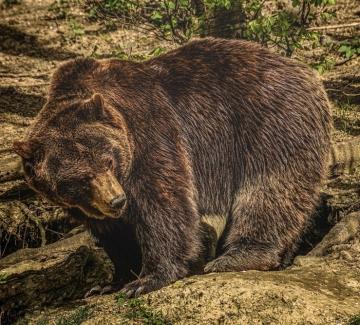 Разрешиха отстрела на мечката край Белица. Кметът обаче размисли