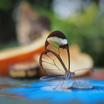 Пеперуди-огледалца