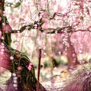 Цъфтежът на сливите в Япония в цялата му прелест!