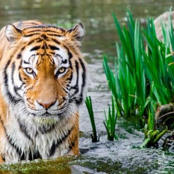 Какво е да си Тигър според китайския хороскоп?