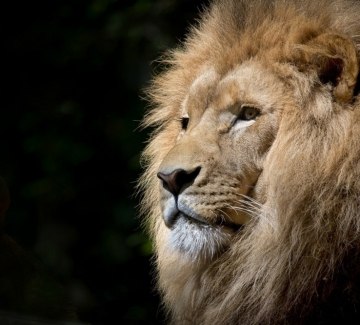 Какво казва за теб седмицата, в която си роден: Лъв I