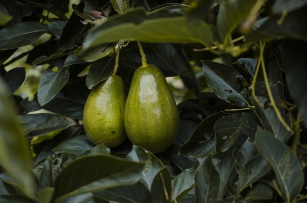 Авокадо: 10 доказани ползи за здравето и 3 рецепти