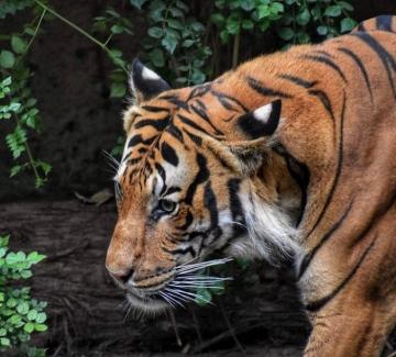 На какво ухае в индийската джунгла или как да примамим тигър с парфюм