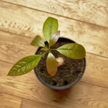 Как да си отгледаме авокадо от семка в няколко лесни стъпки