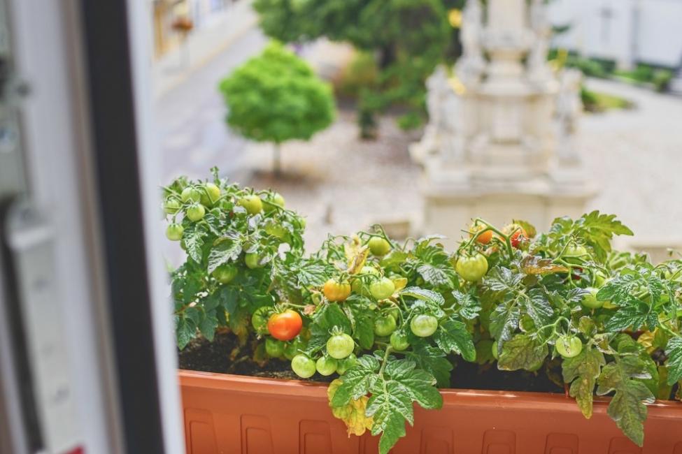 Чери домати на балкона – О, ДА!