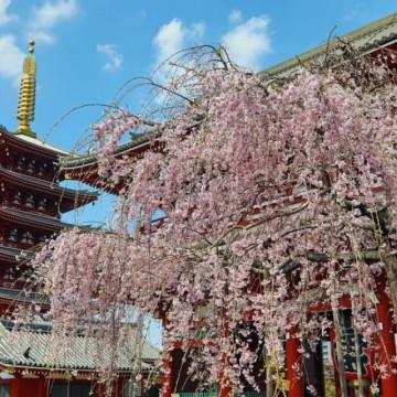 Вишните в Япония цъфнаха, а снимките спират дъха!
