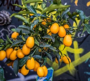 Кумкуат – тайните на малкото голямо плодче
