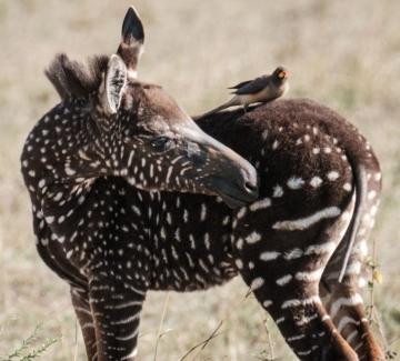 Уникална зебра на точки стана звезда в интернет