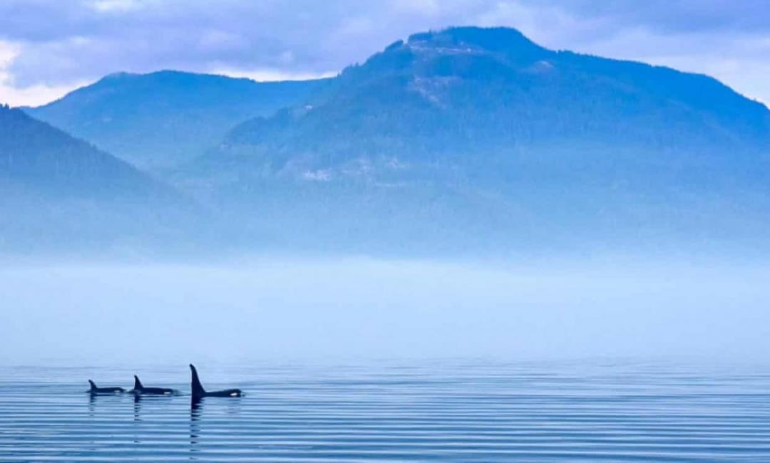 Коронавирусът – истинска благословия за китовете
