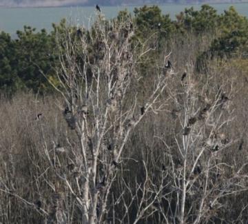 Уникална гнездова колония на големи корморани у нас е унищожена